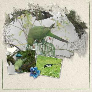 * Perruche verte & pie au jardin