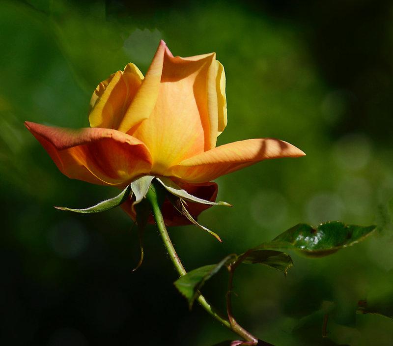 Rose grimpand 1 28-04-21