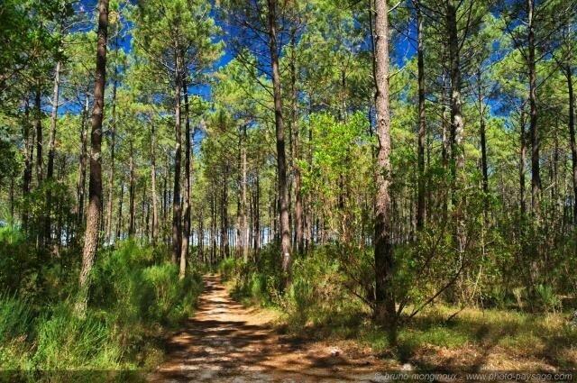 Photo-chemin-forêt-Landes