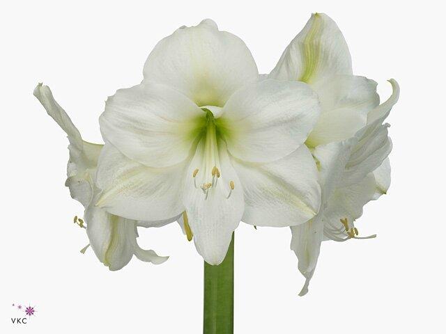 Amaryllis blanc Mount Blanc