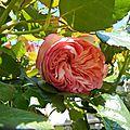 En roses