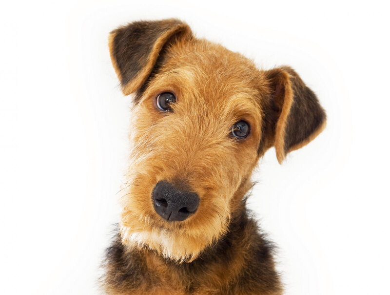 232213-1600x1208-airedale_terrier