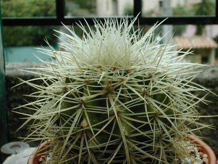Echinocactus_grusonii_v