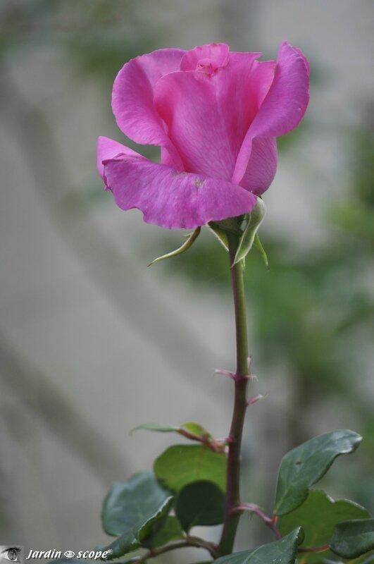 Rose-Mc-Cartney
