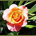 Rose orange 1105153