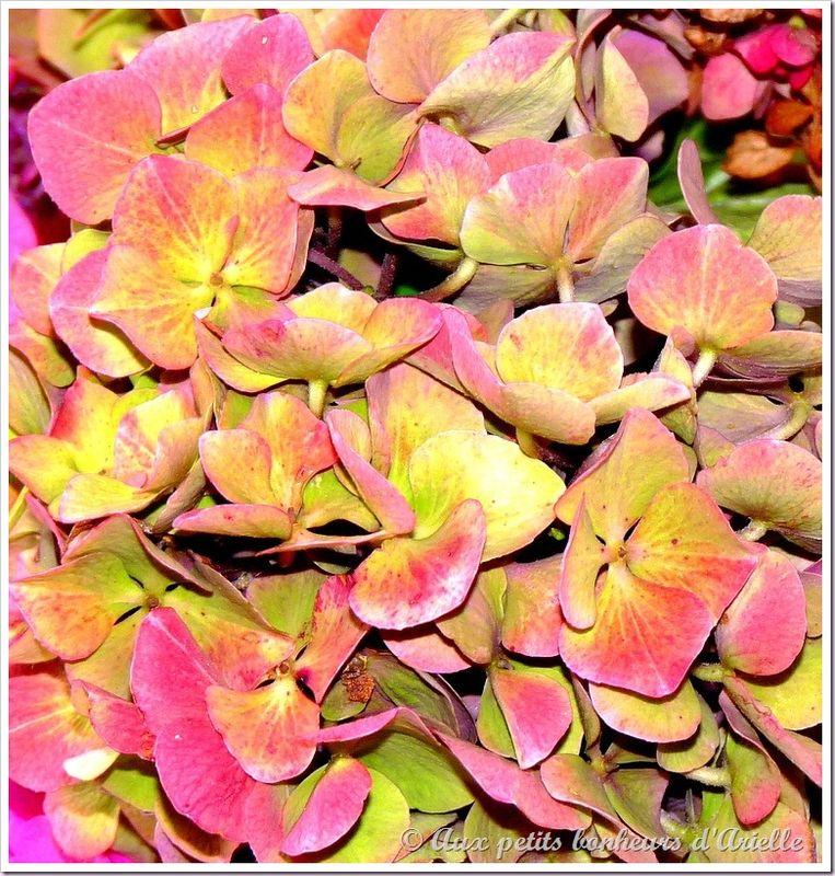 Hortensias aux couleurs de l'automne (19)
