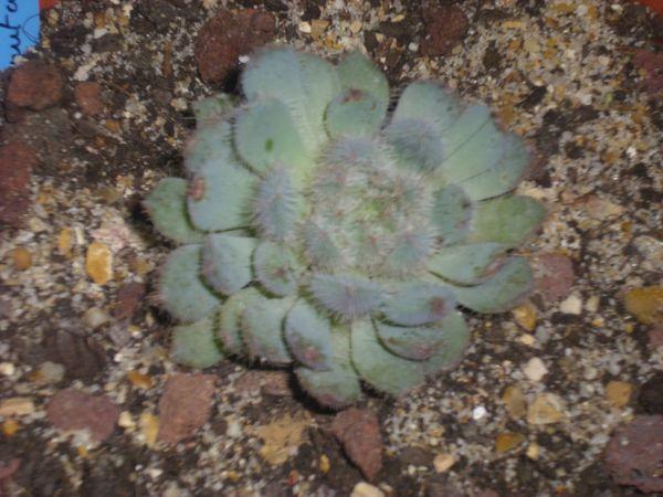 Echevria Deminuta