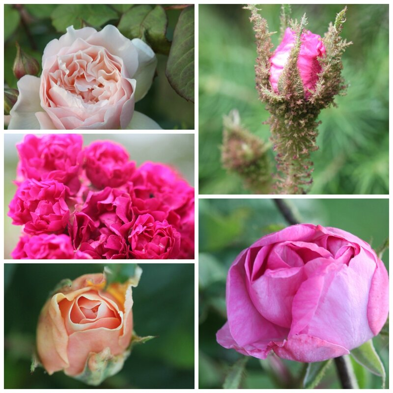 Collage ROSES