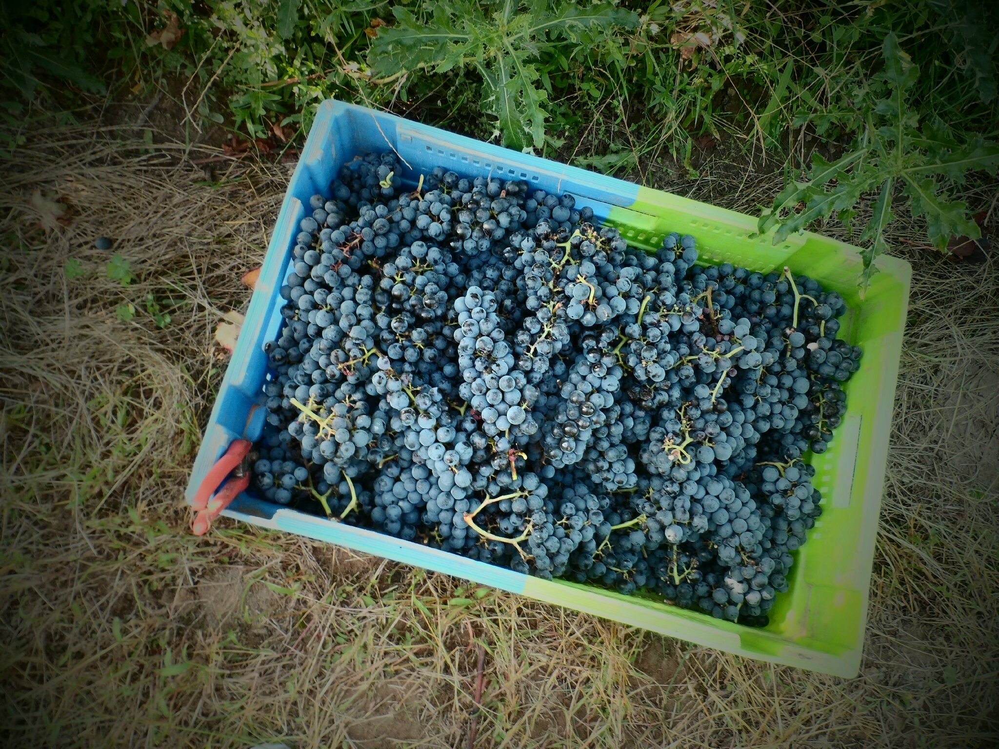 VENDANGES AU CHATEAU DE PIOTE