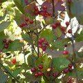 Cranberries on bushes