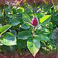 Bouton de roses