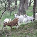 2009 04 21 Chèvres et chevreaux à Montgiraud (9)