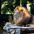 lion beauval8
