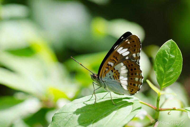 Petit Sylvain - Limenitis camilla (3)