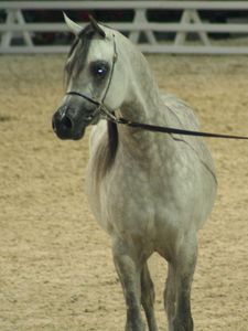 Championnat du monde du cheval arabe le 11 12 10 (65)