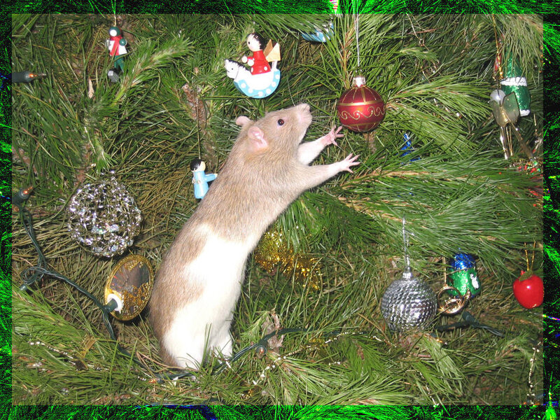 christmas_rat_by_cutelittletheatrekid_dlvf62-pre