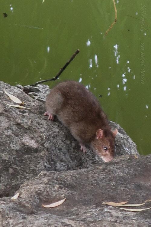 2020-09--rat-lac-Kir