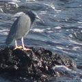 Oiseau du matin pas chagrin, port de Seogwipo, Jeju.