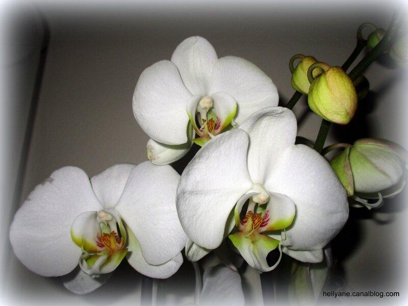 orchidée - hellyane passion