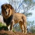 Le lion qui se croyait mouton