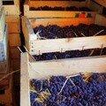 Photo 37 - Domaine Tissot, raisin séchant sur la paille