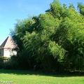 Bambouseraie • Famille des poaceae