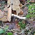 Cortinarius torvus (3)