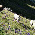 P1080818 Des moutons parmi les iris
