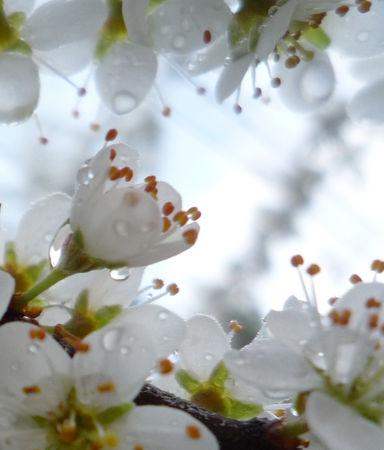 prunelliers