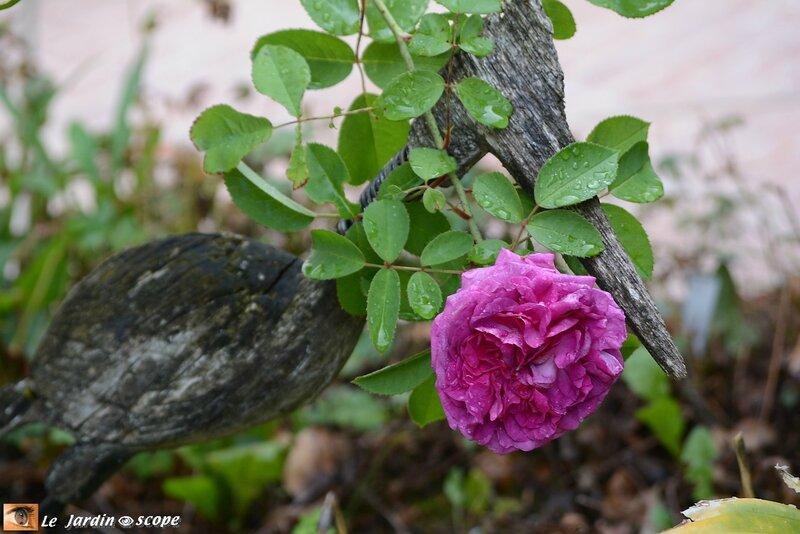 PAT_2178-Reine-des-Violettes