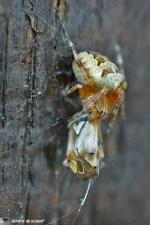 Épeire diadème • Araneus diadematus et sa proie