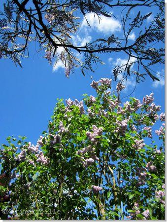 lilas et glycine