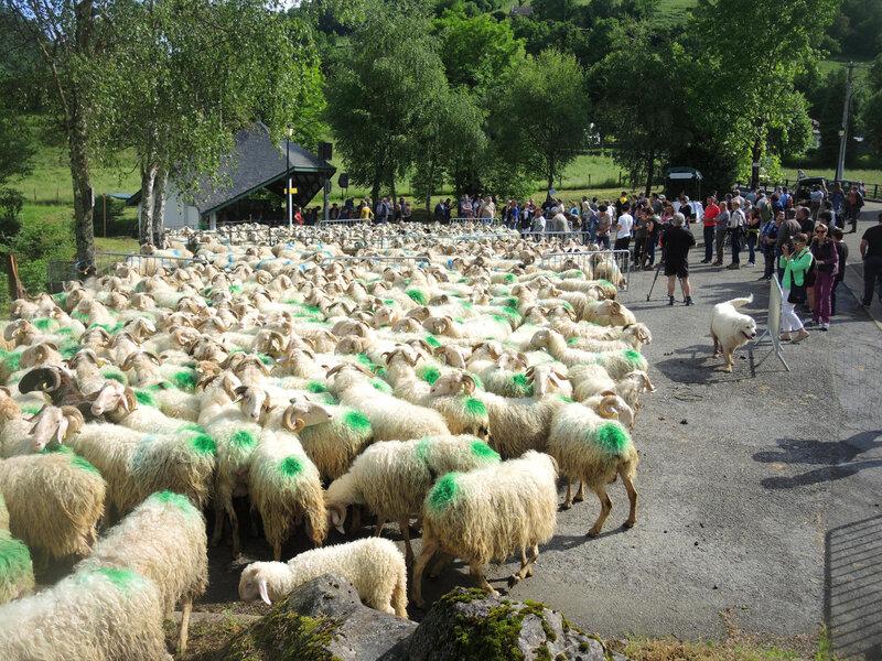 Lourdios-Ichère, transhumance, troupeaux sur place (64)