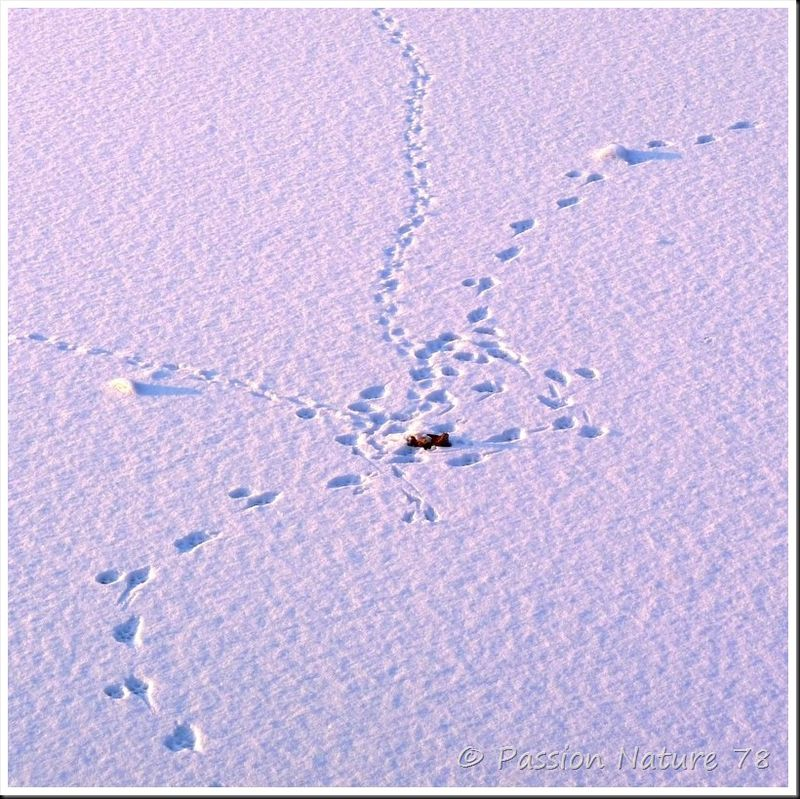 Traces d'animaux dans la neige (5)