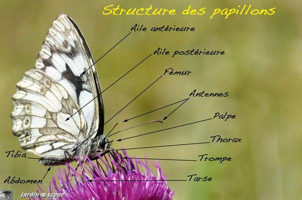 Structure-des-papillons
