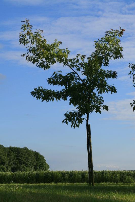 Un Chêne précieux