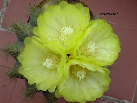Notocactus_magnificus_fleurs__2_