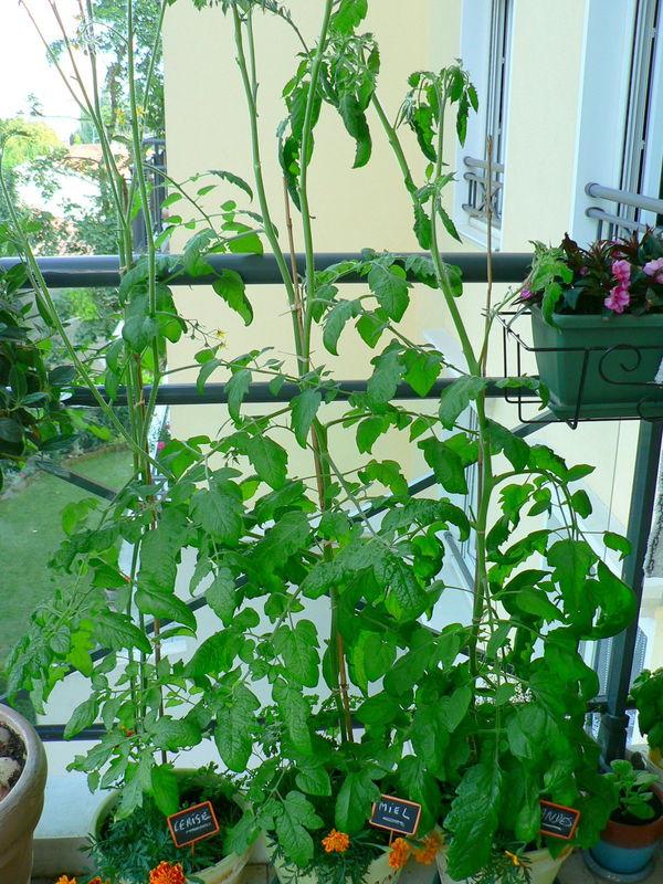 Tomates 20 juillet 2008