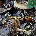 Cortinarius calochrous