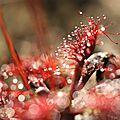 Drosera capillaris