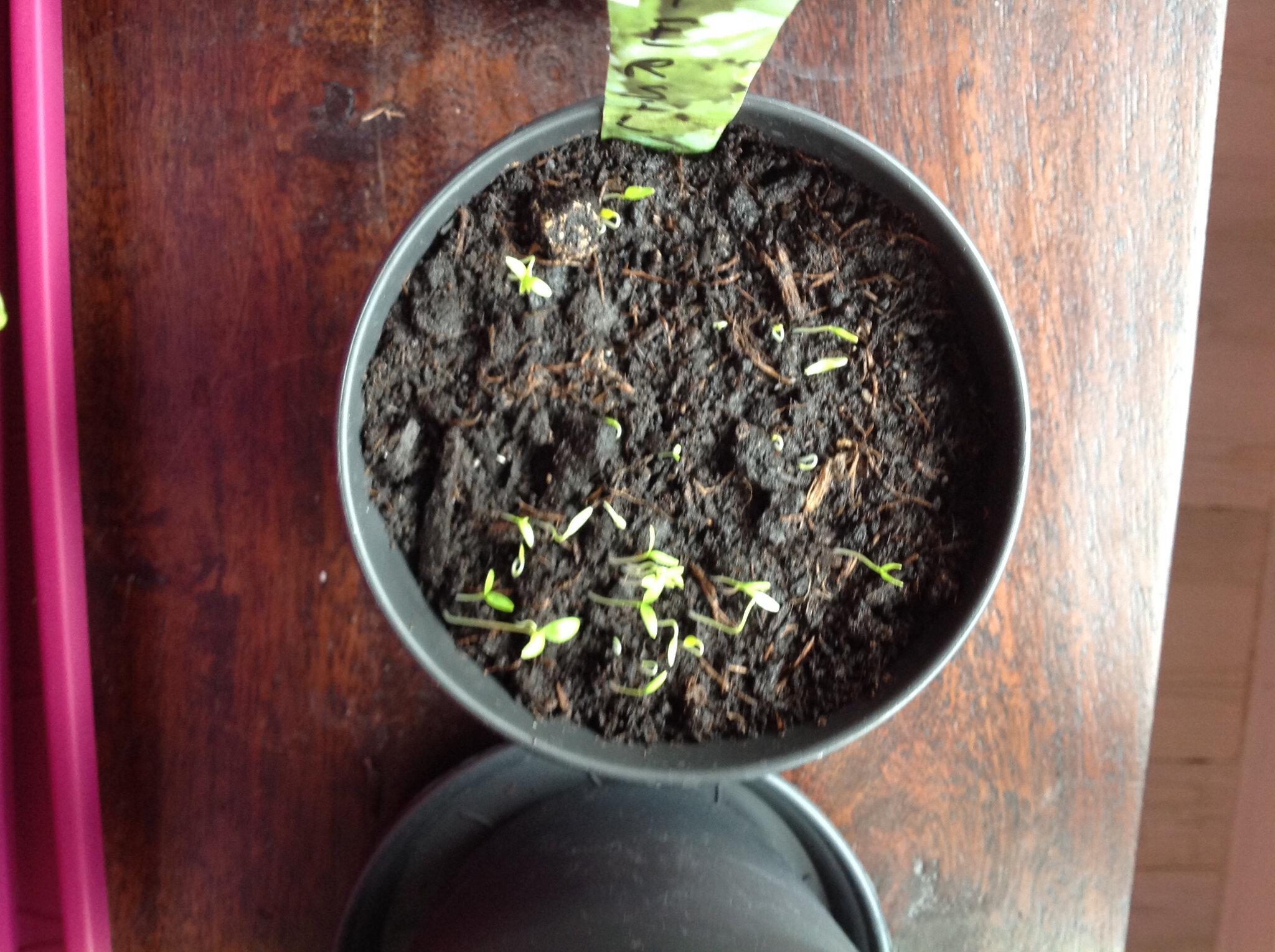 Faire Pousser Du Persil En Appartement jardiner en appartement (tuto persil et radis) - marge feels
