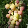 Vigne - raisin