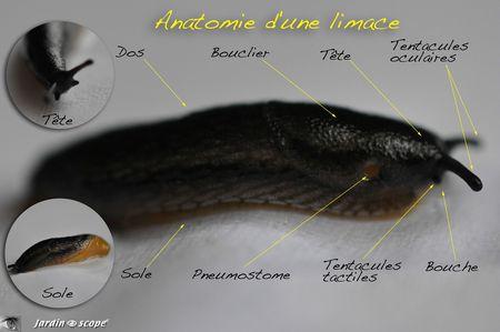 Anatomie-d'une-limace