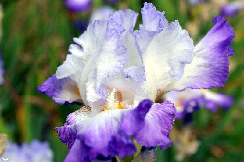 190529_iris_grand_barbu_1