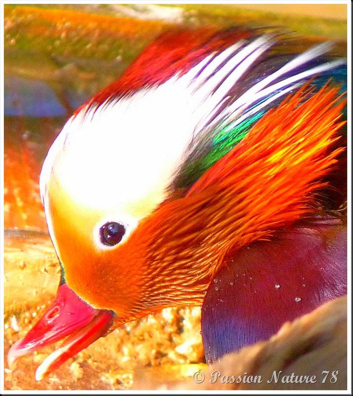 Le canard mandarin (19)