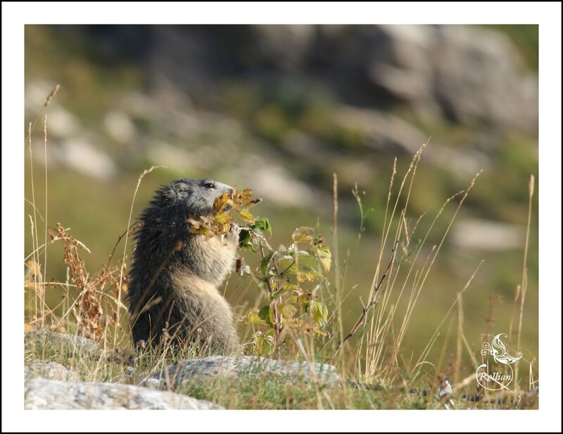 Famille marmotte 4