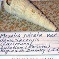MESALIA SULCATA 51.DAMERY