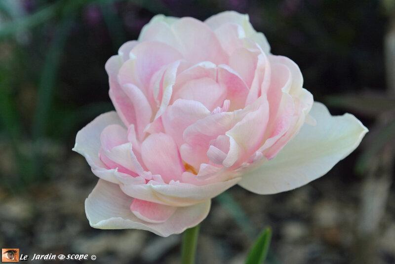 Tulipe-Angélique-2