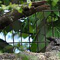Hibou Grand-Duc • Bubo bubo • Famille des Strigidae