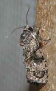 Thaumatotibia leucotreta 03 (2)